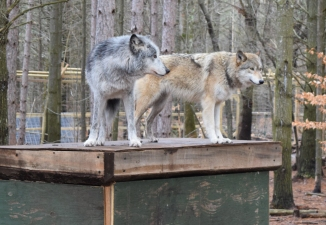 Two of the three wolves at the Adirondack Wildlife Refuge.