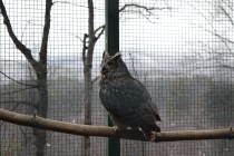 This is a Utah, a Great Horned Owl.