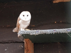 A Barn Owl. He and his mate just hatched eggs so he has been kicked out of the nest.
