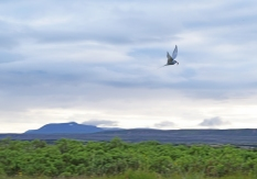 An arctic tern carries a butterfish to her chicks, most likely hidden in the bushes somewhere relatively closeby.