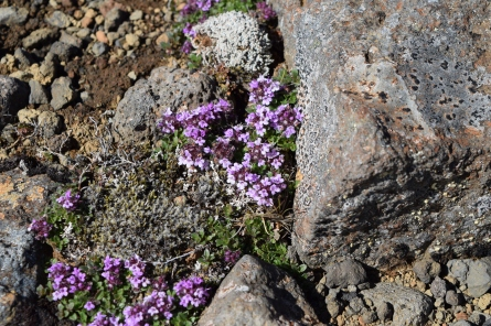 I don't know what these little purple flowers are but they were so beautiful, carpeting the green moss and lava rocks.